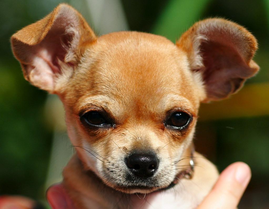 bby_Chihuahua-Treffen 1