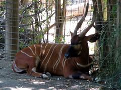 okapi(0.0), giraffidae(0.0), wildlife(0.0), antelope(1.0), zoo(1.0), mammal(1.0), fauna(1.0), kudu(1.0), bongo(1.0),