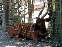 antelope, zoo, mammal, fauna, kudu, bongo,
