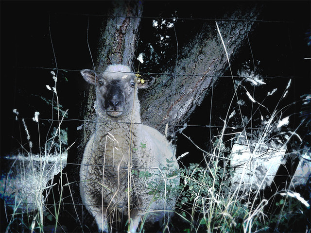 sheepish friend, Sony DSC-F88