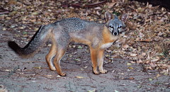 animal, mammal, jackal, grey fox, fauna, red fox, kit fox, wildlife,
