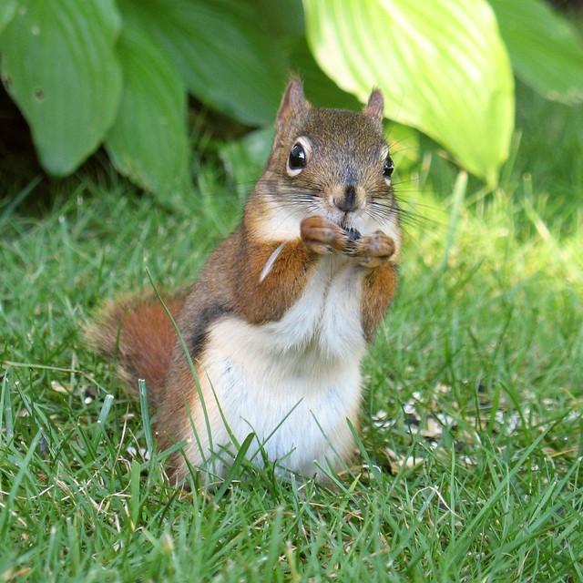 u00c9cureuil roux -- pine squirrel