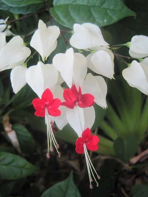 White Bleeding Hearts With Red Flowers Clerodendrum Sp