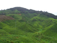 Boh Tea Centre And Sg Palas Plantation