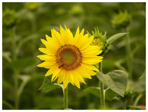 Sunflower 070804 #02