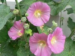 large-flowered evening primrose (0.0), chinese hibiscus(0.0), annual plant(1.0), ipomoea violacea(1.0), flower(1.0), pinkladies(1.0), plant(1.0), malva(1.0), malvales(1.0), pink evening primrose(1.0), flora(1.0), hollyhocks(1.0), hibiscus(1.0), petal(1.0),