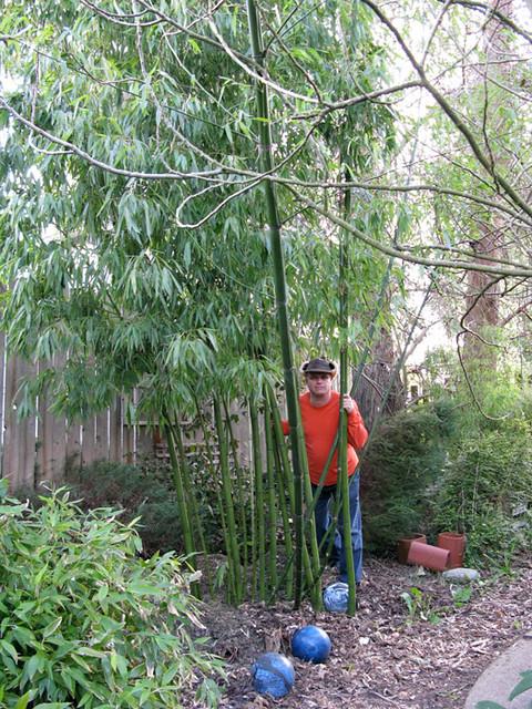 phyllostachys vivax (Vivax Bamboo)