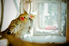 cockatoo(0.0), parakeet(0.0), animal(1.0), lovebird(1.0), yellow(1.0), pet(1.0), fauna(1.0), cockatiel(1.0), beak(1.0), bird(1.0),
