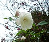 All roses are white by little-prince [ Little Gift , my name ]