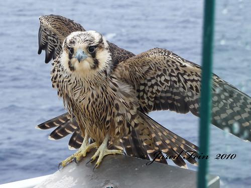 sea bird nature closeup hawk falcon caribbean tundra birdofprey peregrine peregrinefalcon falcoperegrinustundrius sewerdoc ©jaredfein juveniletundraperegrinefalcon birdingworldmagazine