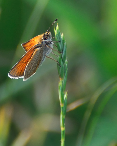 butterfly insects bugs moths tcaap ahats twincitiesarmyammunitionplant mully410 tcaapwva ardenhillsarmytrainingsite twincitiesarmyammunitionplantwildlifeviewingarea