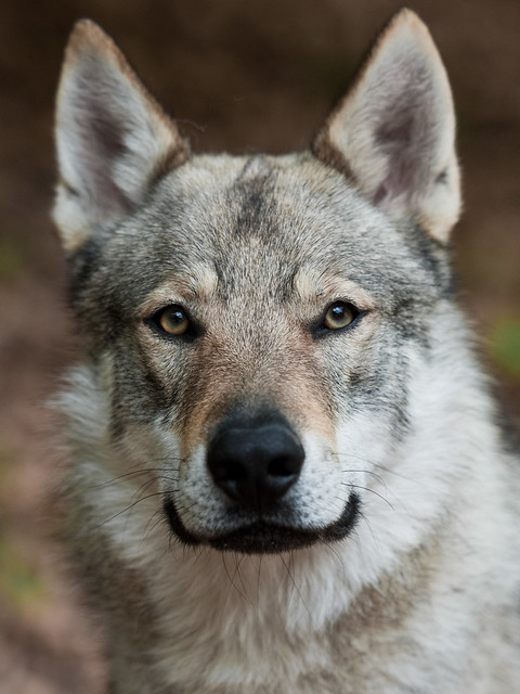 Wolf Dog Puppies For Sale Banbury