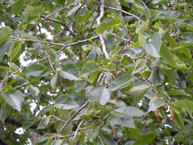 Planting Under Elm Trees : Ulmus americana flickr photo sharing