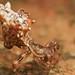 Spider (Micrathena horrida) by pbertner