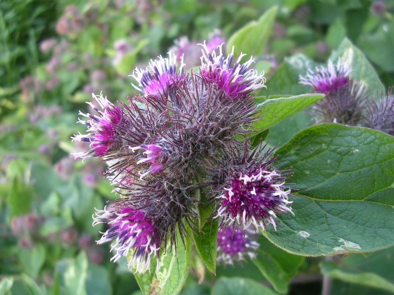 Burdock Southease to Seaford