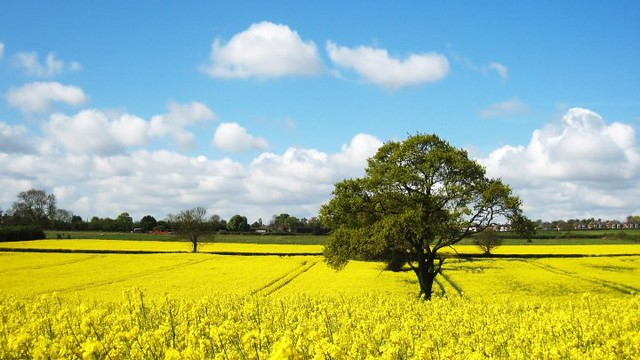 Canola Flower Field...
