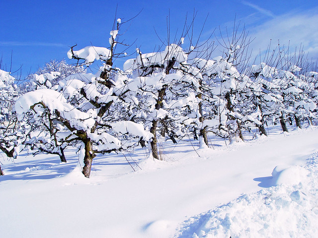 Small trees under snow