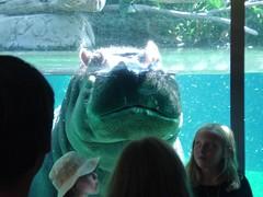 hippo posing
