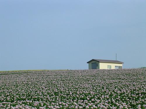 散步途中的馬鈴薯花田