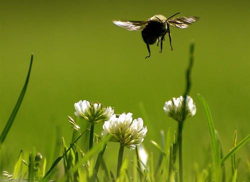 新研究再次支持新菸鹼類殺蟲劑危害野生蜂群。(來源:Patrick Doheny)