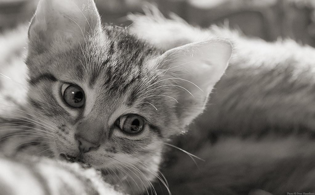Kitten b/w 1