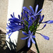 Small photo of Agapanthus orientalis