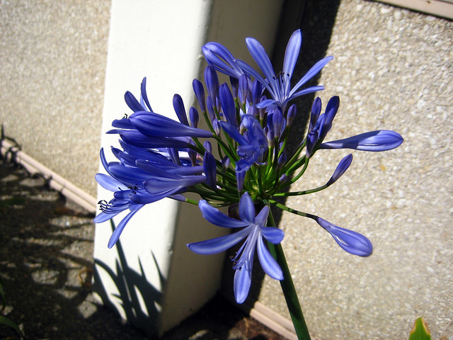Header of Agapanthus orientalis