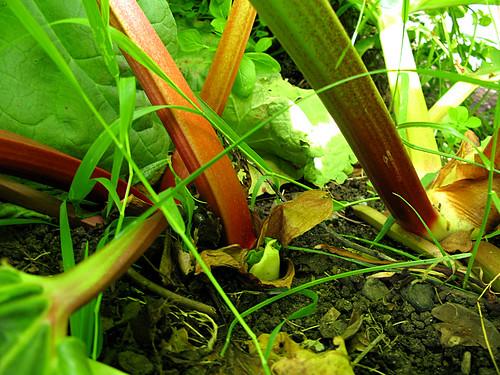 Rhubarb, communicty garden, Victoria, British Columbia