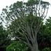 Small photo of Aloe Vera tree