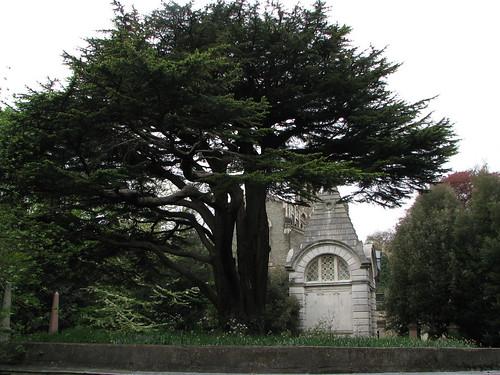 IMG_7904 Cedar of Lebanon, Highgate Cemetery