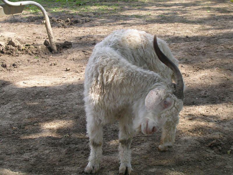 Goat 1 Stonegate circular