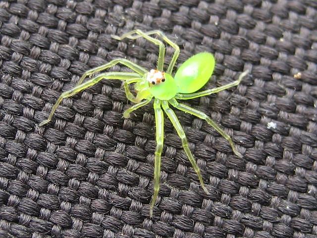 Neon green spider