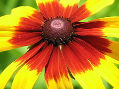 gaillardia, annual plant, flower, yellow, gerbera, macro photography, flora, close-up, petal,