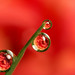 Miniature rose dewdrop refraction #5 by Lord V