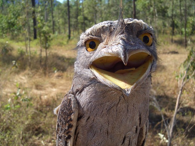 Frogmouth - An unusual Bird found near Townsville, Queensland Australia