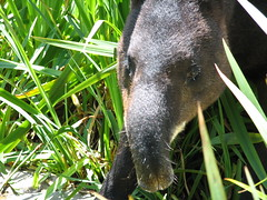 anteater, animal, fauna, tapir, wildlife,