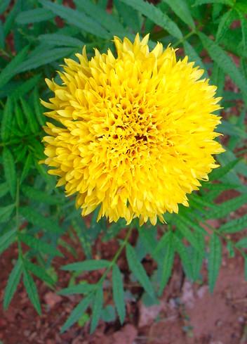 Goa, India - Flowers