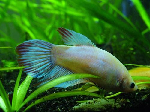 Internal Parasites And Swim Bladder Disorder In Betta Fish
