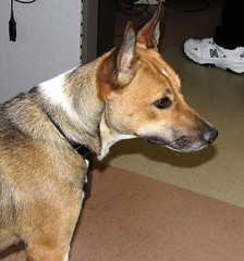 dog breed, animal, dog, carolina dog, pet, mammal, basenji, terrier,