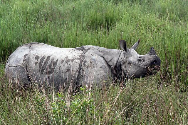 One Horned Rhino Assam - India