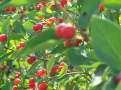 produce, fruit, food, lingonberry,