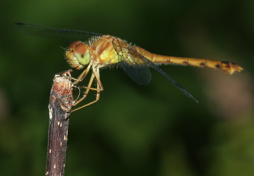 dragonfly canondigitalrebelxt abigfave