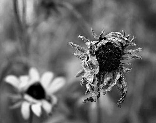 blackandwhite stilllife flower nature blackeyedsusan blossum whithered tracycollinsphotography dsc8463