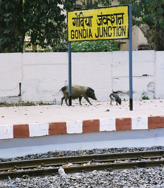 Gondia India  city pictures gallery : Feral pigs at Gondia Junction, Maharashtra | Flickr Photo Sharing!