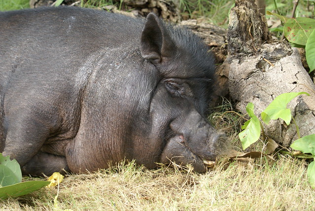 Pot Belly Pig For Sale Vancouver Island
