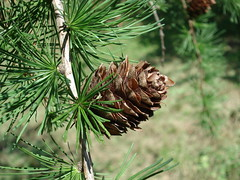 arecales(0.0), fauna(0.0), larch(1.0), evergreen(1.0), flower(1.0), branch(1.0), pine(1.0), leaf(1.0), tree(1.0), flora(1.0), conifer cone(1.0), fir(1.0), spruce(1.0), twig(1.0),