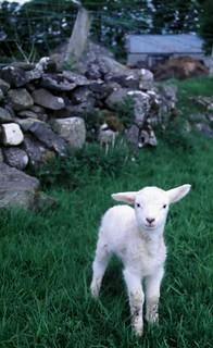 Irish Lamb