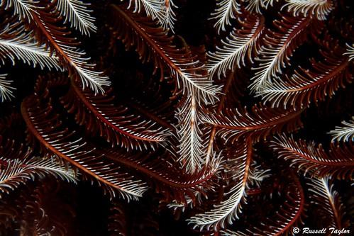 Crinoid (featherstar)