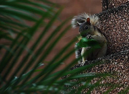 Tropical squirrel