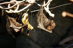 two upside down bats eating banana in the portland z…